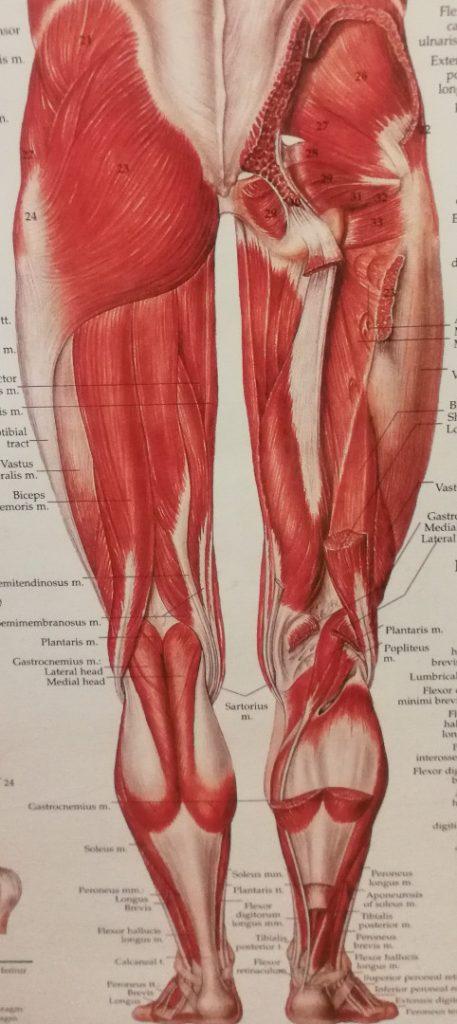 Lænd, sædemuskel og ben